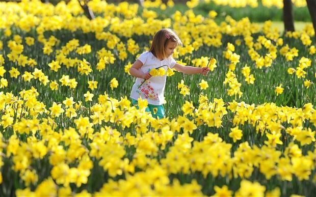 daffodils_2169388b